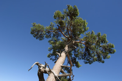 Holzarten massivholz kiefer f r betten tische und regale - Kiefer baum kaufen ...